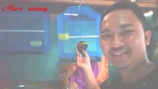 Burung Nuri Pelangi Jinak Dan Bisa Ngomong