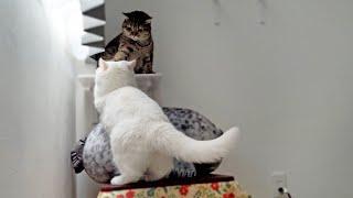 妹猫に邪魔されて窓に登れず、落ち込んじゃう姉猫!
