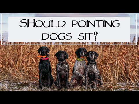 Can I Teach My Pointing Dog To Sit?  You Ask We Answer Episode 17: Part 1
