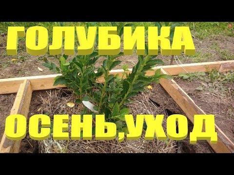 ГОЛУБИКА. Уход за садовой голубикой осенью