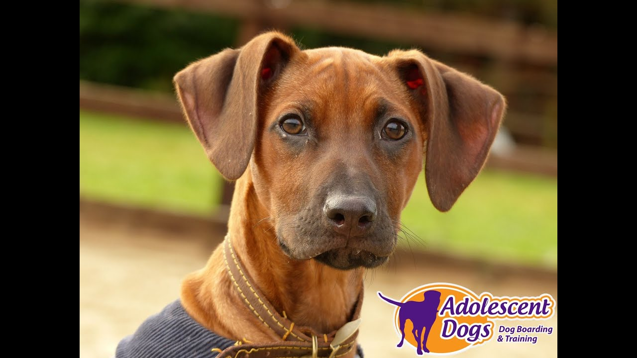 Milly - Rhodesian Ridgeback Puppy - 2 Week Residential Dog Training