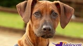 Milly - Rhodesian Ridgeback Puppy - 2 Week Residential Dog Training