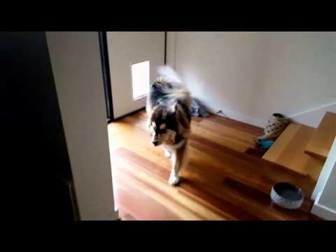 Heisenberg Finnish Lapphund dog on house patrol