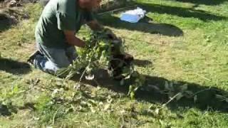 repotting our hoya bella pt1