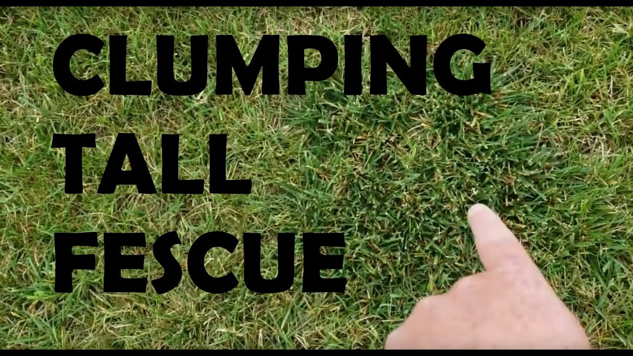 Common Lawn Care Issue Clumping Tall Fescue How Do I Remove It Youtube