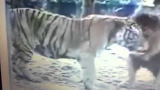 Video | Hổ vằn giết Sư Tử | Ho van giet Su Tu