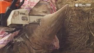 Носорогу отпилили рог