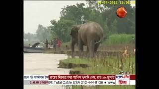 দিকভ্রান্ত হয়ে ঘুরে বেড়াচ্ছে ভারতীয় বুনো হাতি - Channel 24 Youtube