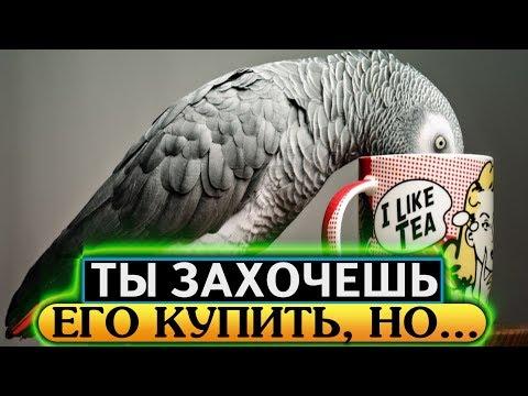 Он умнее, чем... Говорящий Жако, серый африканский попугай