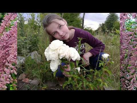 Дача поливаю розы 🌹 формирую куст Тамариска Гребенщик 🌹 цветение роз июль