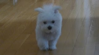 Cute Maltese Puppy Dog Playing Chew Toys Eating Food Plainfield Puppies Funny Doing Things Videos