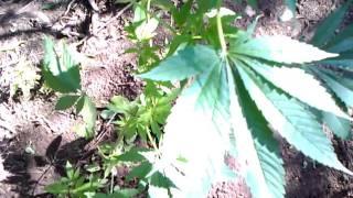 First time growing Outdoor Marijuana