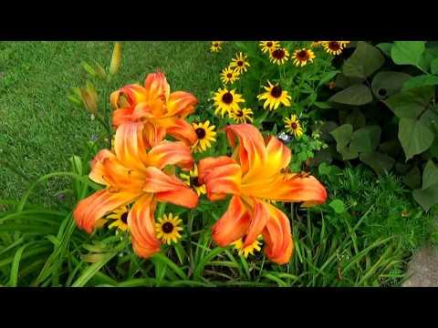 видео: Простой ландшафтный дизайн, #цветники у моего дома, лилейники - цветы для лентяев