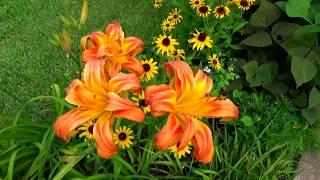 видео Ваш ідеальний газон біля будинку.