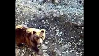 медведь остановил работу на карьере, хотел покушать мужиками. Камчатка,Россия.