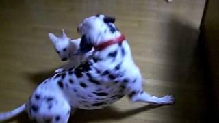 紀州犬の幼犬とダルメシアンの成犬が優しく遊んでいます。 ダルメシアン...