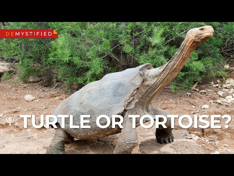 DEMYSTIFIED: What's The Difference Between A Turtle And A Tortoise? | Encyclopaedia Britannica