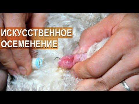 Разведение цесарок. Получение спермы у самца. Искусственное осеменение цесарок. Обучающее видео