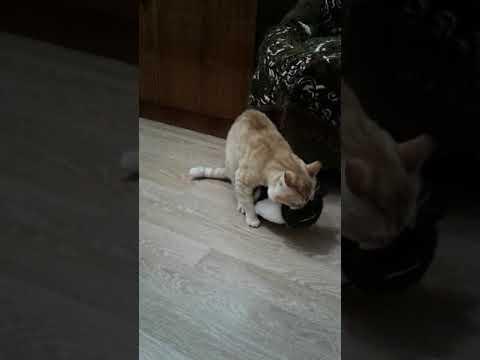 кот персик из вк картинки