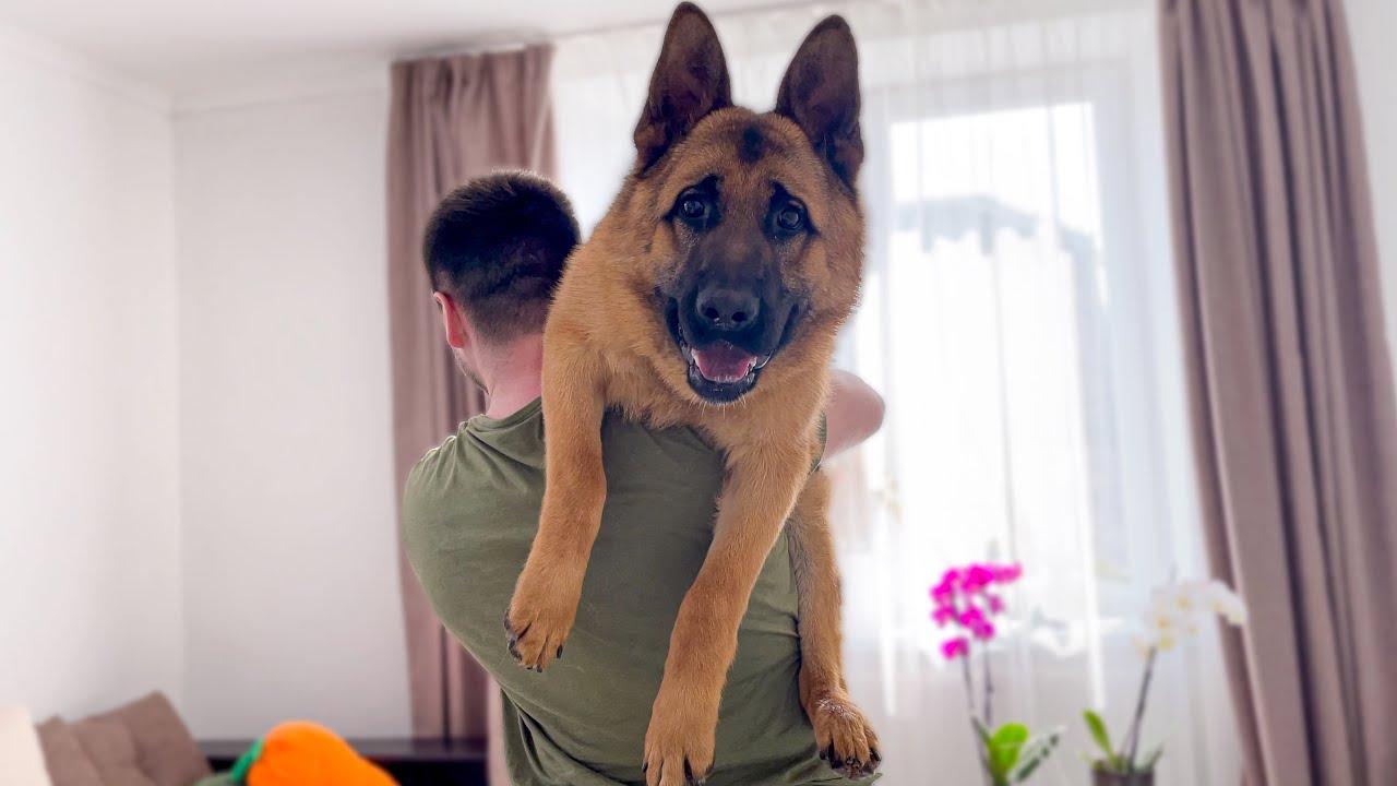 The German Shepherd Hates Being Picked Up!