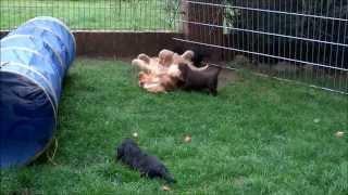 Cocker Spaniel Welpen Vom Hof Sonnenschein