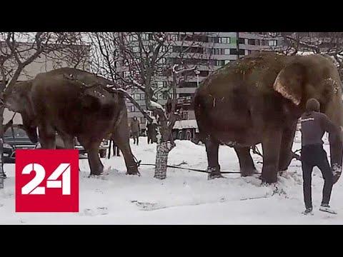 Пара слонов в Екатеринбурге утащила дрессировщиков купаться в снегу - Россия 24