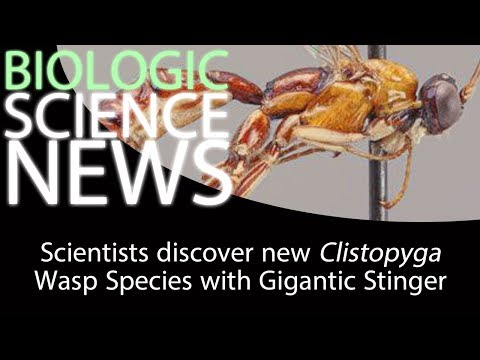 Science News - Scientists discover new Clistopyga Wasp Species with Gigantic Stinger