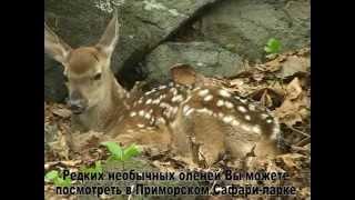 Фильм об оленёнке Ма-хуа-лу (конь-цветок-олень), родившемся в Приморском Сафари-парке