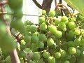 50 сортов винограда вырастил на даче житель Березовского района