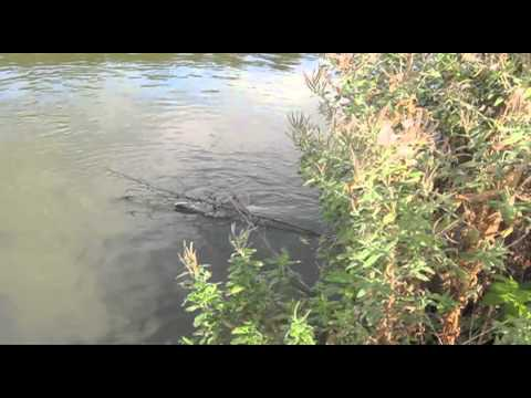 Risby Park Fisheries - Landing Of The Sturgeon