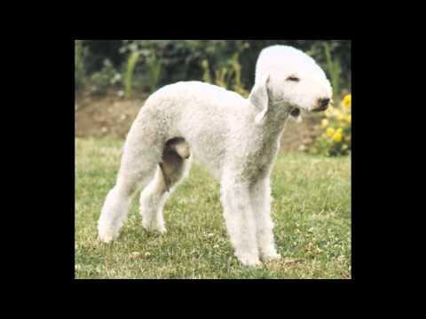 Bedlington Terrier (dog breed HD slide show)! / Бедлингтон - терьер !