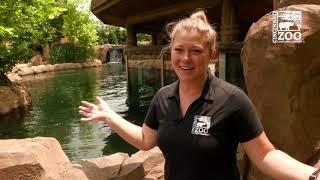 Hippo Fiona Blood Draw Training - Cincinnati Zoo