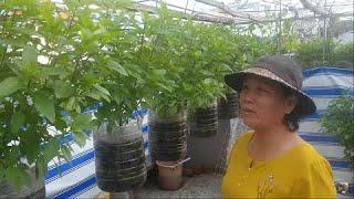 Vườn Rau Quế treo , cách trồng , bón phân , tưới nước sao cho đủ nước  | Khoa Hien 323
