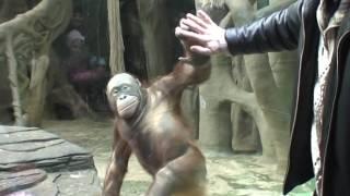 Орангутанги жгут