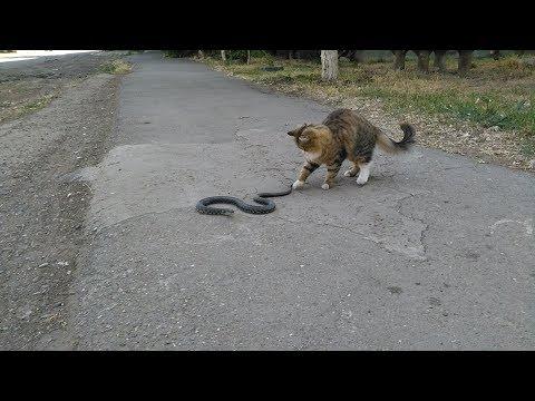 Кот охотится на