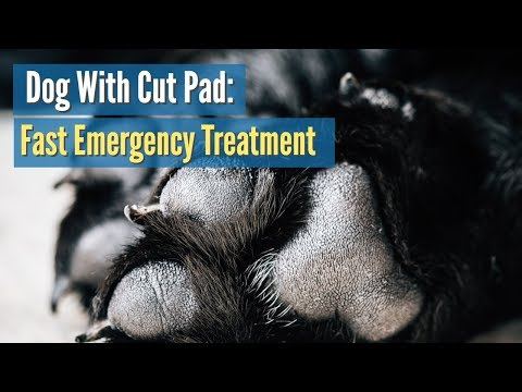 Dog With Cut Pad Fast Emergency Treatment