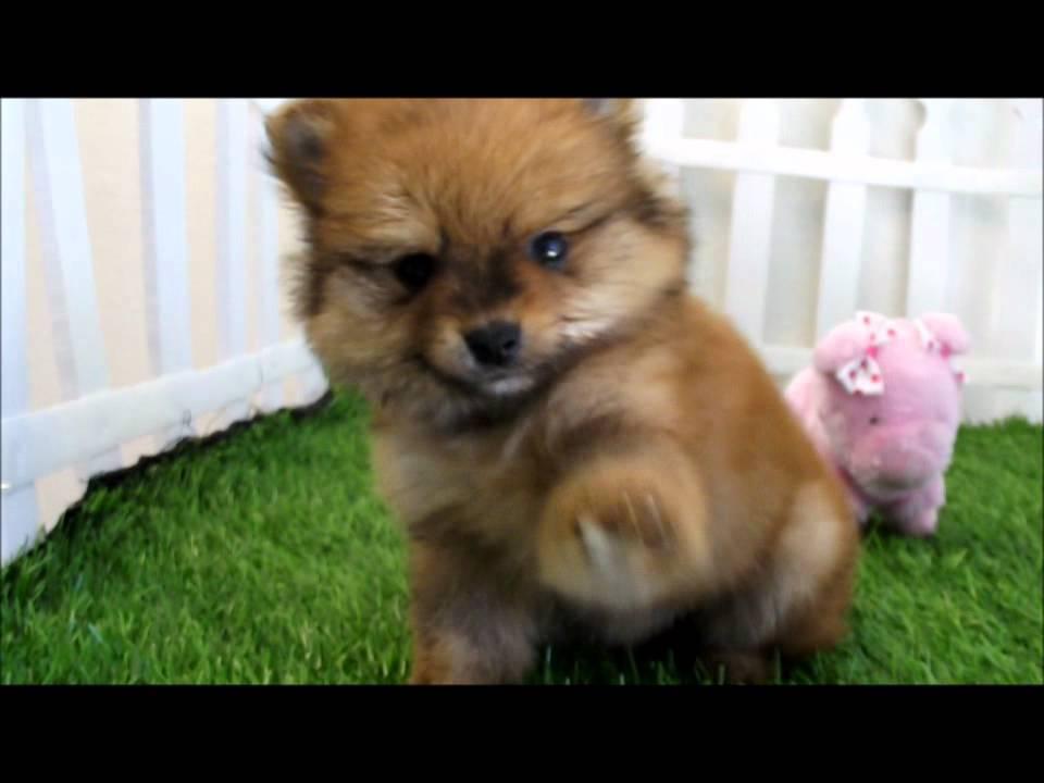 Teacup Pomeranian Puppies Mr Handsome Wmv Youtube