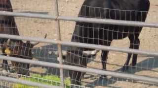 Video greenergrass et vaches