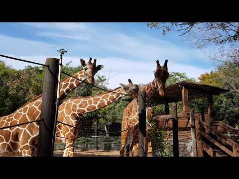 Feeding Reticulated giraffes