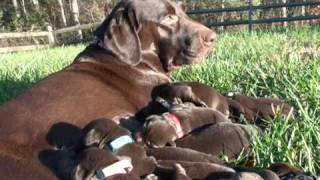 Day 07 - Chocolate Labrador Retriever Puppies Outside In The Awesome Sunlight!