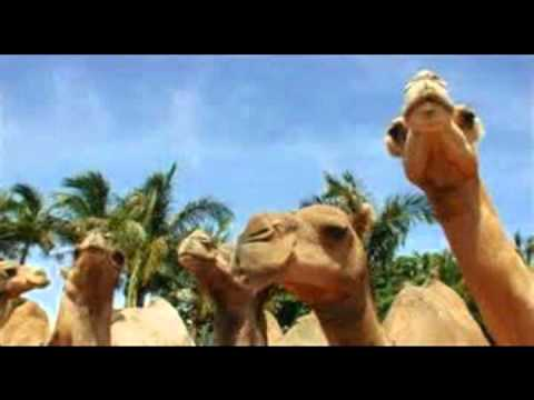 camel walk southern culture on the skids