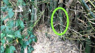 [7.26 MB] Pengambilan bambu petuk asli