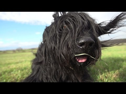Dogs in Slow Motion - Samy the Briard († 2014)