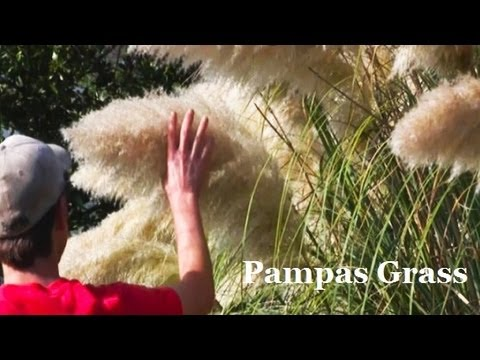 *Plant Pampas Grass* +Correctly+Fast Growing Privacy Screen+