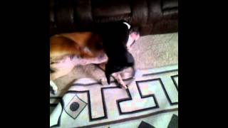 Mother Teaching Puppy To Fight