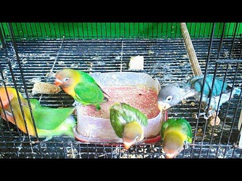 Cara Meloloh Lovebird Agar Cepat Makan Sendiri