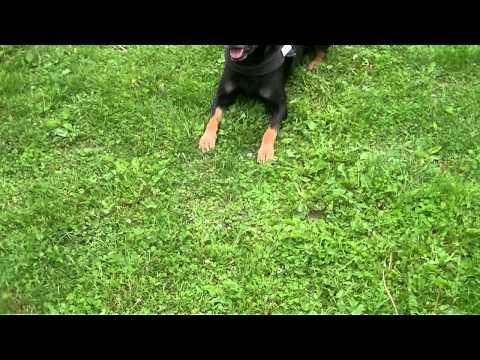 Ati the King of Dogs ! HD.