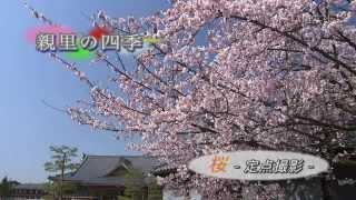 第05回 桜 -定点撮影-