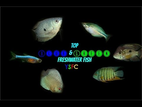 Top Blue & Green Freshwater Fish (YSFC)