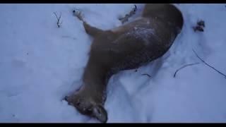 Загонная охота на Сибирскую Косулю.